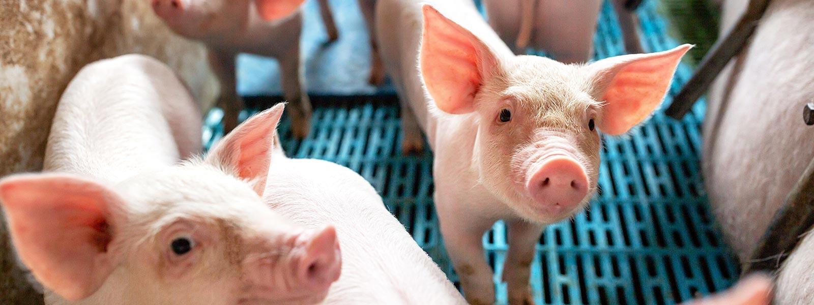 Schweinehaltung mit Kiefl Stalltechnik